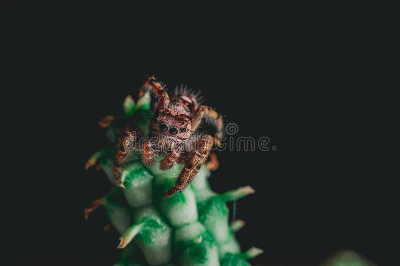 Jumping Spider on a Houseplant. A putnam jumping spider Phidippus putnami resting on a euphorbia houseplant stock photography
