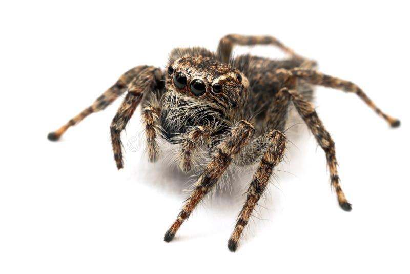 Download Jumping Spider Isolated Over White Stock Image - Image of animalia, phobia: 18422841