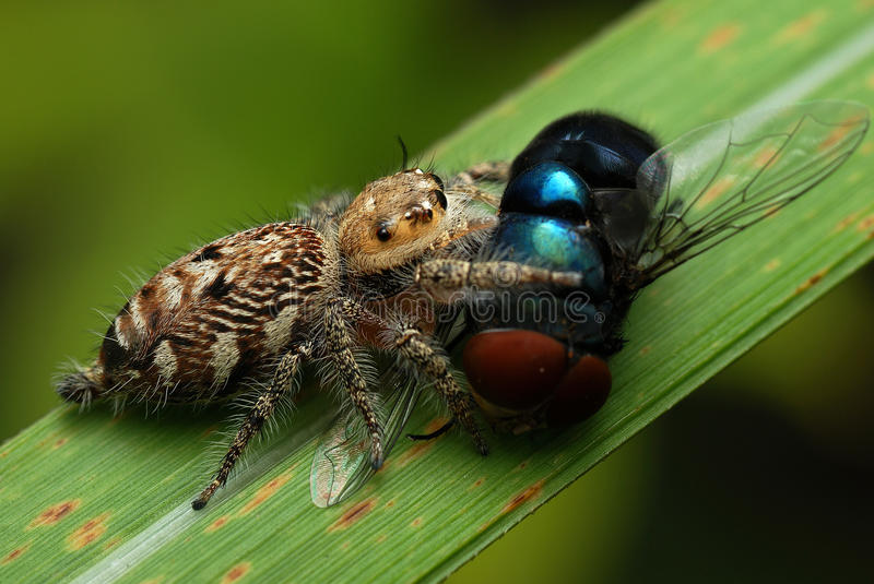 Download Jumping Spider With Its Prey Stock Photo - Image: 12912510