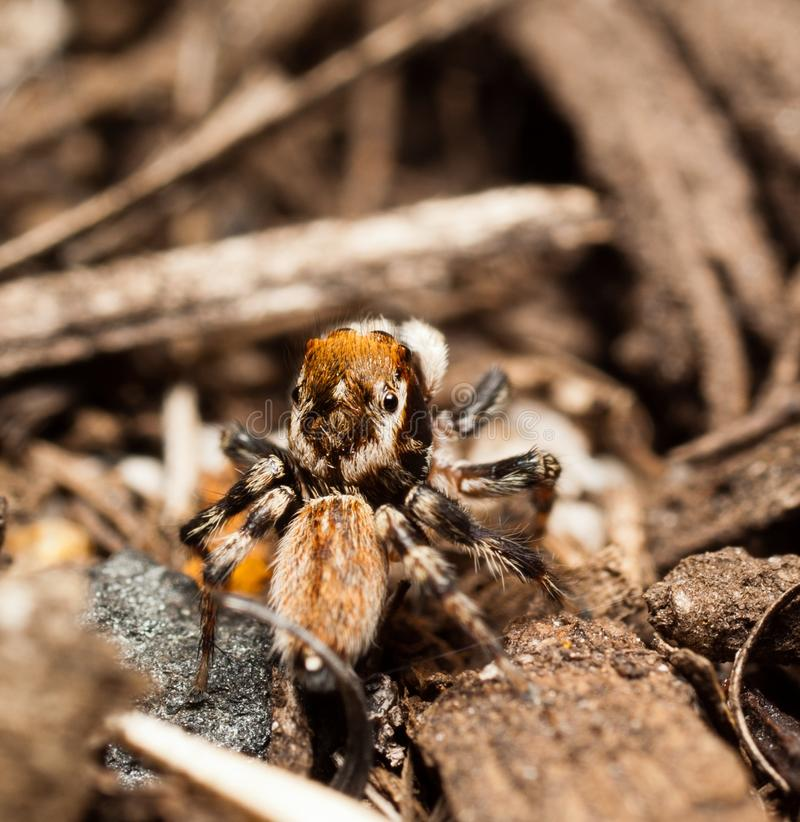 Jumping Spider Looking Up stock images