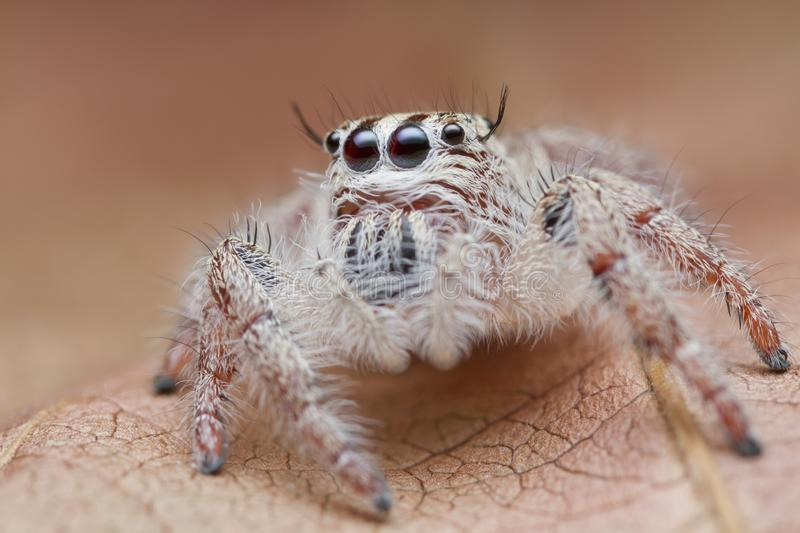 Jumping spider on orange leaf royalty free stock image