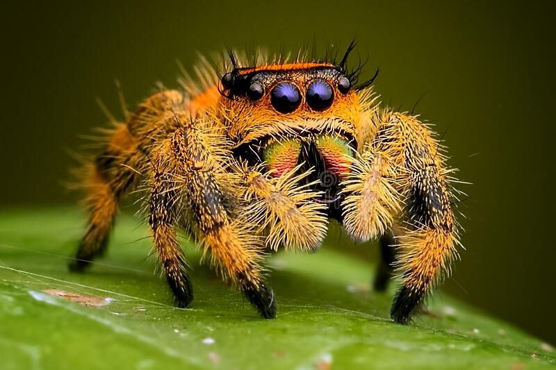 Jumping spider phidippus regius female standby waiting for prey royalty free stock photography