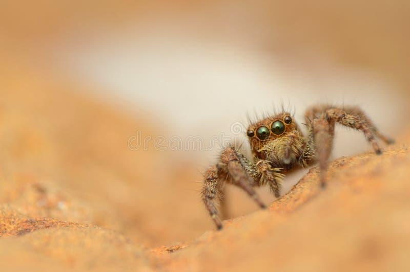 Jumping spider, Plexippus paykull, female, Satara, Maharashtra, India. Jumping spider, Plexippus paykull, female at Satara in Maharashtra, India stock photos