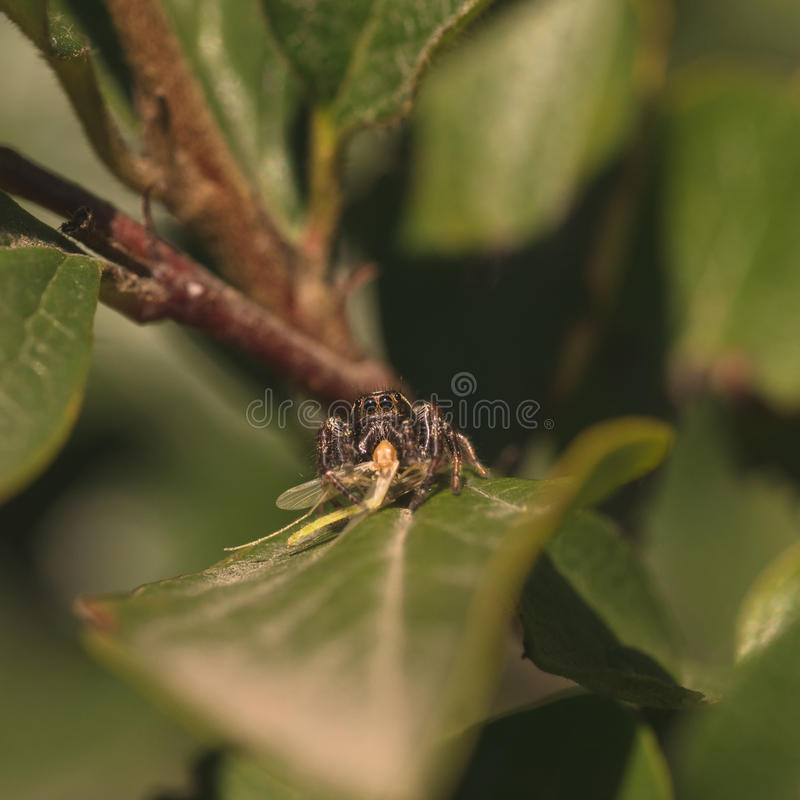 Download Jumping Spider with Prey stock photo. Image of dendryphantinae - 80174636