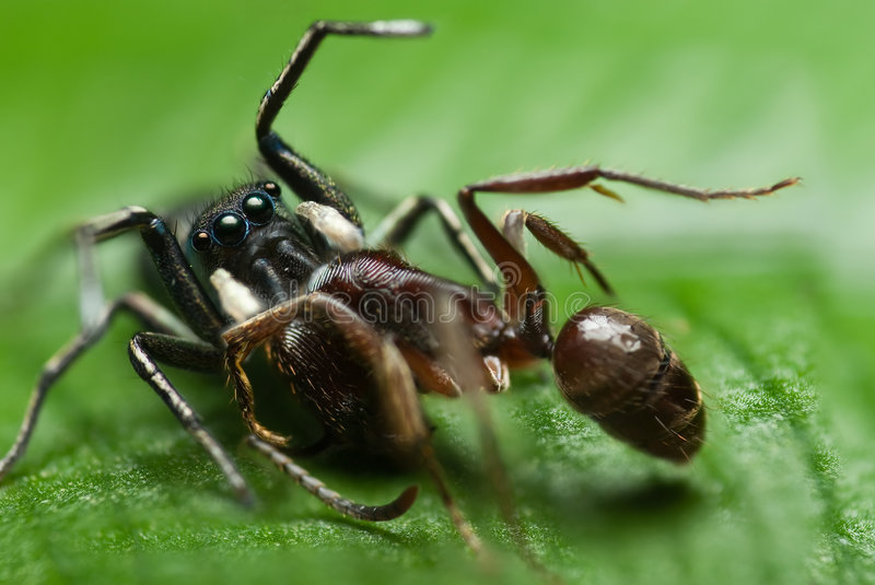 A jumping spider preying on an ant royalty free stock image