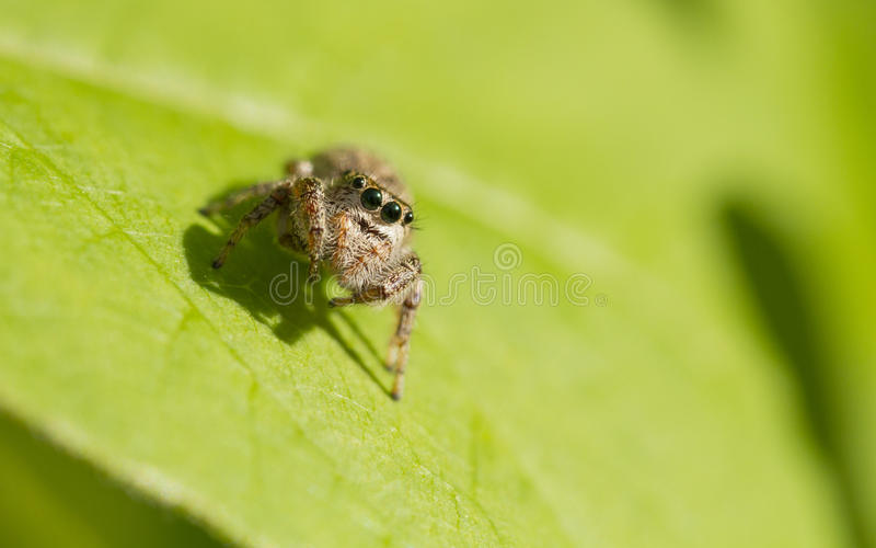 Download Jumping Spider stock photo. Image of insects, legs, seasonal - 31314438