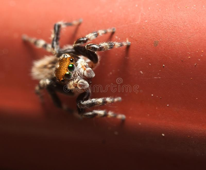 Jumping Spider on Red Background royalty free stock images