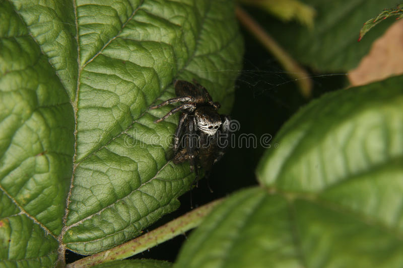 Jumping spider (Salticidae). When eating their pray stock photos