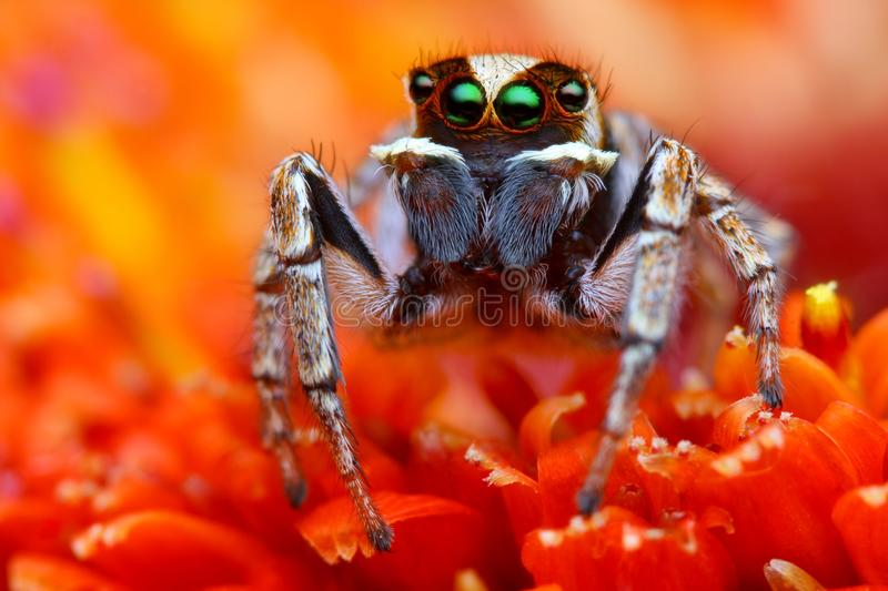 Jumping spider from Turkey 2 royalty free stock photos