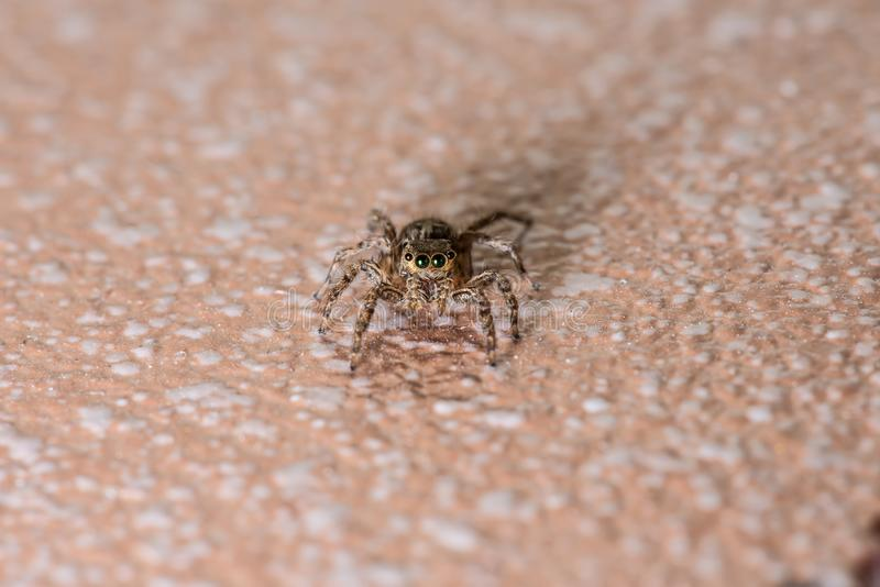 Jumping spider walk on the floor royalty free stock images