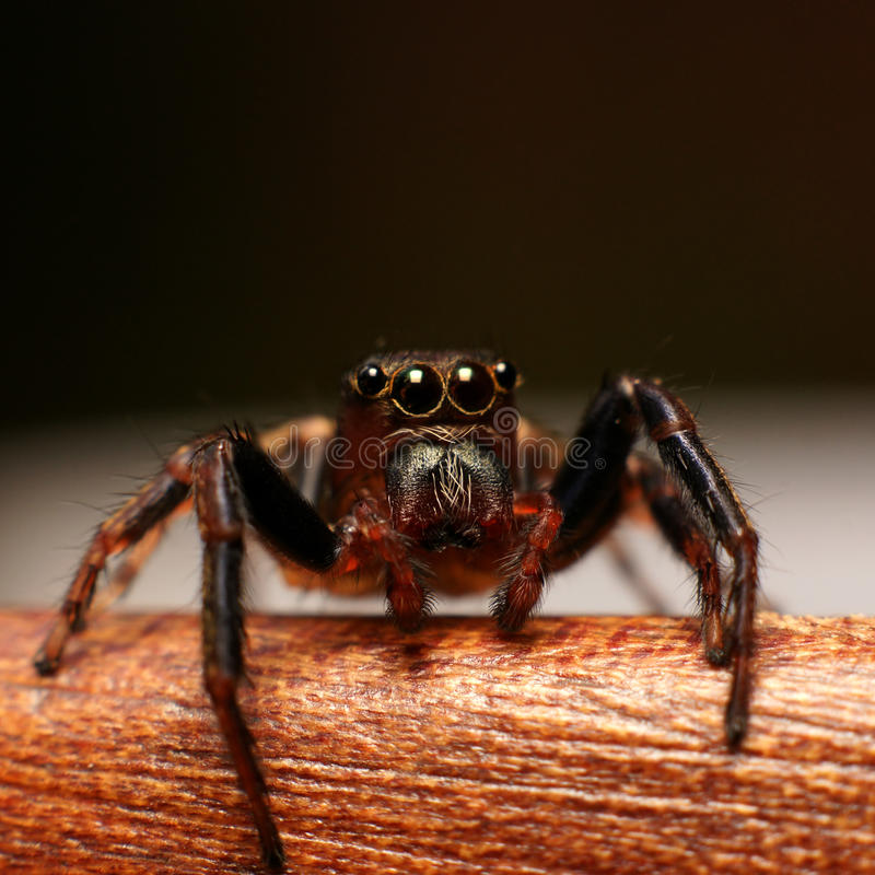 Download Jumping Spider Watching You Stock Image - Image: 18874767
