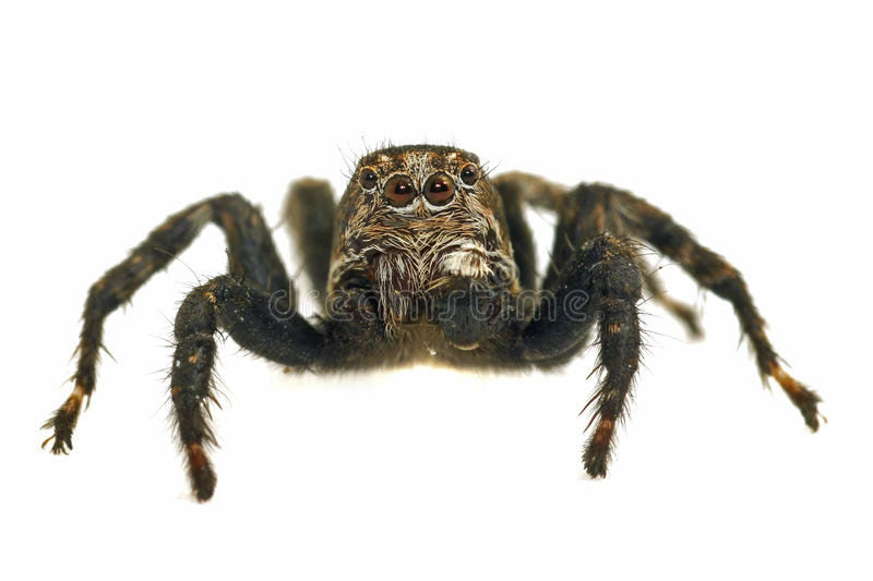 Jumping Spider On White Background Royalty Free Stock Photography