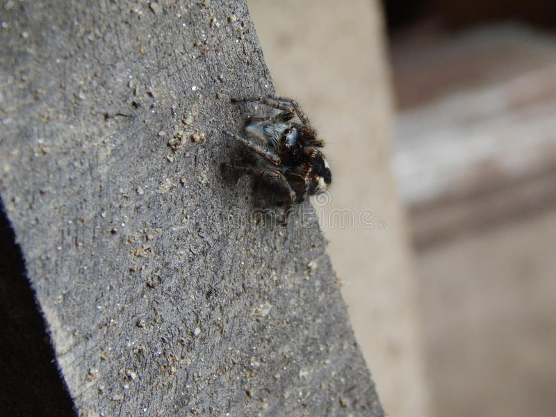 Jumping spider on wood stock photography