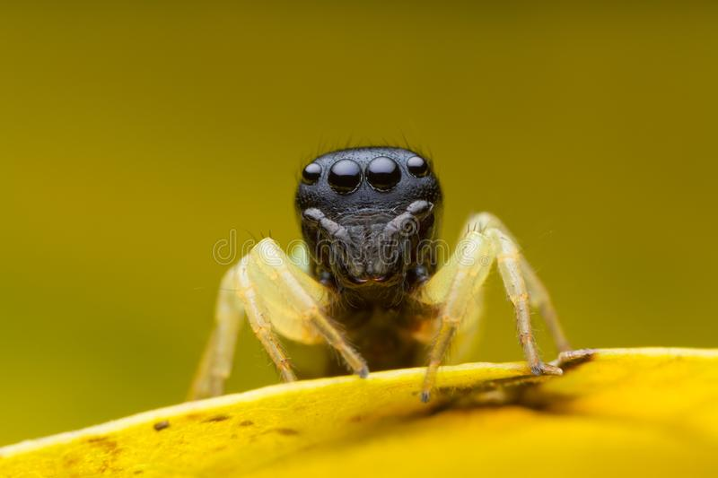 Jumping spider on yellow leaf stock photo