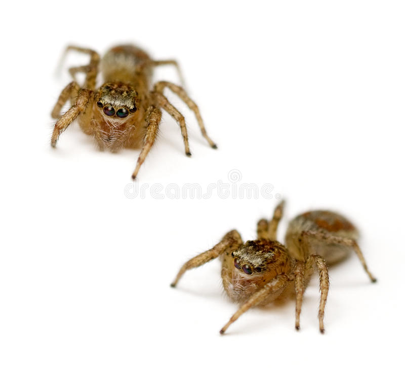 Jumping Spiders. Two Jumping Spiders (Salticidae) isolated on white background stock photo