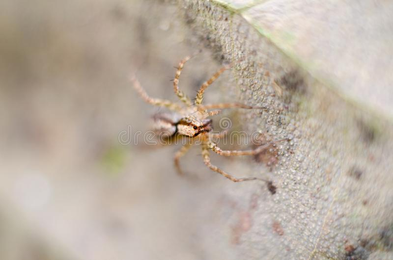 Jumping spiders Salticidae royalty free stock image