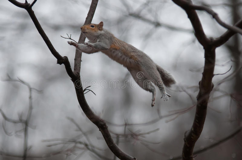 Jumping squirrel royalty free stock photography