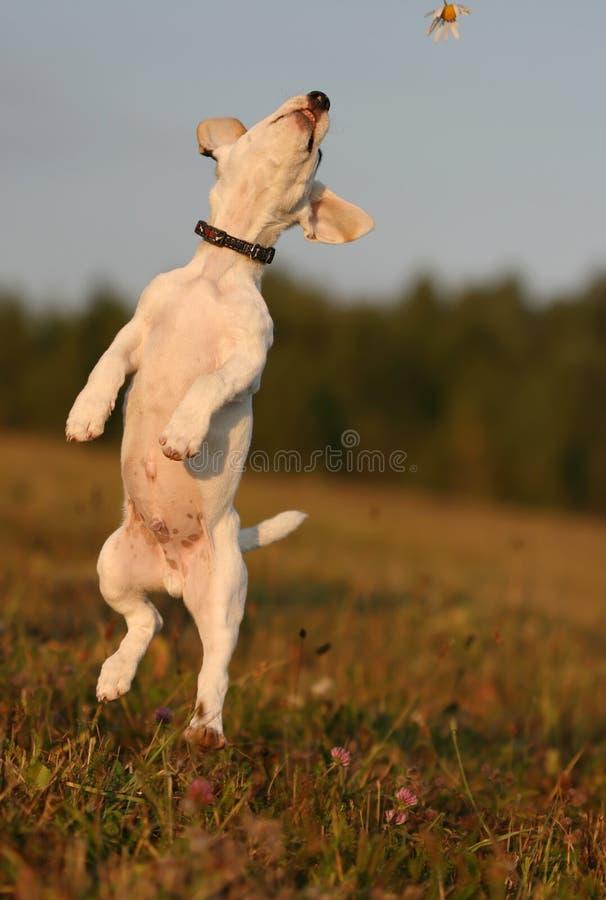 Jumping terrier stock photos