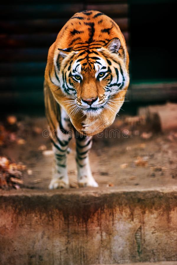 Jumping tiger. Beautiful, dynamic and powerful photo of this majestic animal stock images