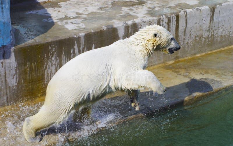 Jumping wet polar bear royalty free stock images