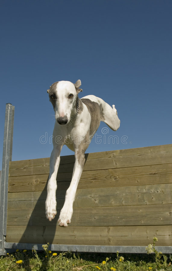 Jumping whippet royalty free stock image