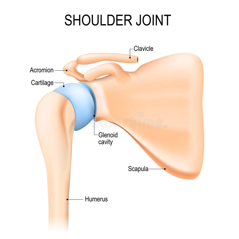 Junção glenohumeral do ombro Anatomia humana ilustração stock