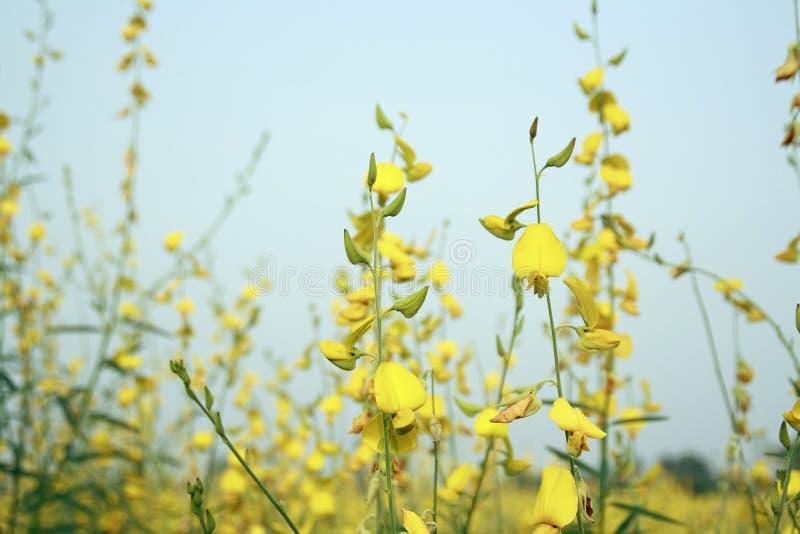 Juncea de Crotalaria photos stock