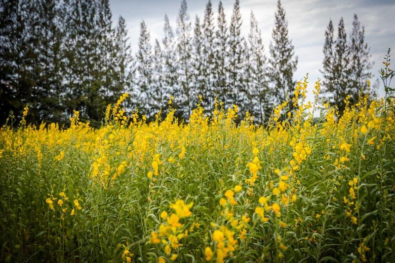 Juncea do Crotalaria ou de cânhamo de Sunn campos de flores imagem de stock