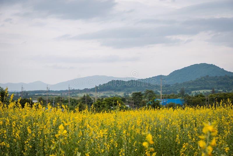 Juncea do Crotalaria ou de c?nhamo de Sunn campos de flores foto de stock