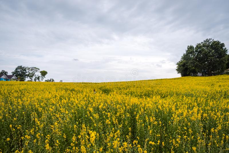 Juncea do Crotalaria ou de c?nhamo de Sunn campos de flores imagem de stock royalty free