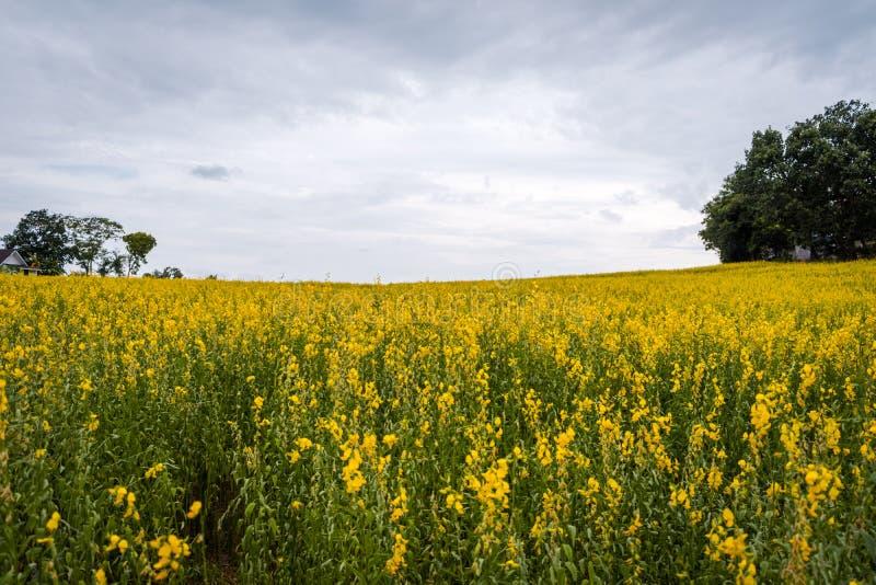 Juncea do Crotalaria ou de c?nhamo de Sunn campos de flores imagens de stock