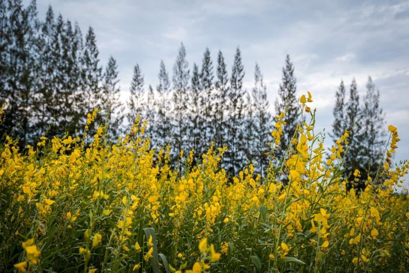 Juncea do Crotalaria ou de c?nhamo de Sunn campos de flores fotos de stock royalty free