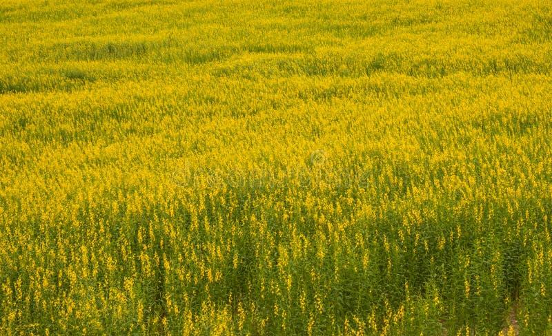 Juncea do Crotalaria ou de c?nhamo de Sunn campos de flores imagens de stock royalty free