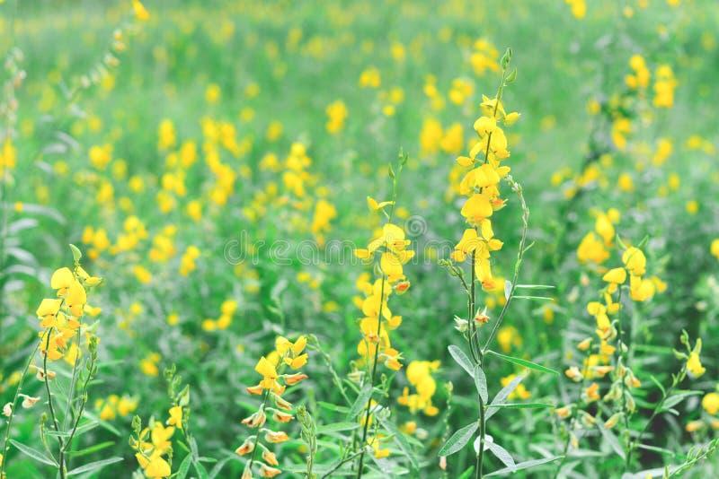 Juncea för crotalaria för Sunhempblommafält, indisk hampa eller madras hampa med pastellfärgad signal för solf royaltyfria foton