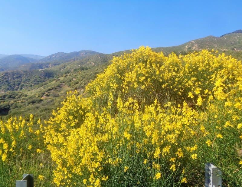 Junceum de Spartium de balai espagnol fleurissant près de la route images stock