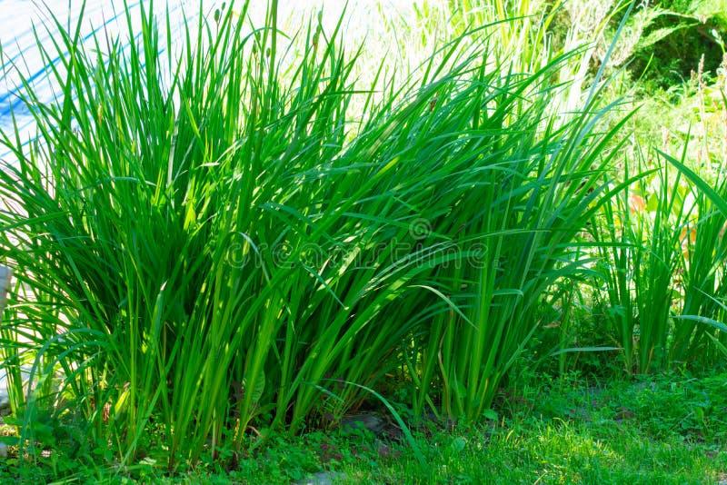Juncia de la hierba verde fotos de archivo