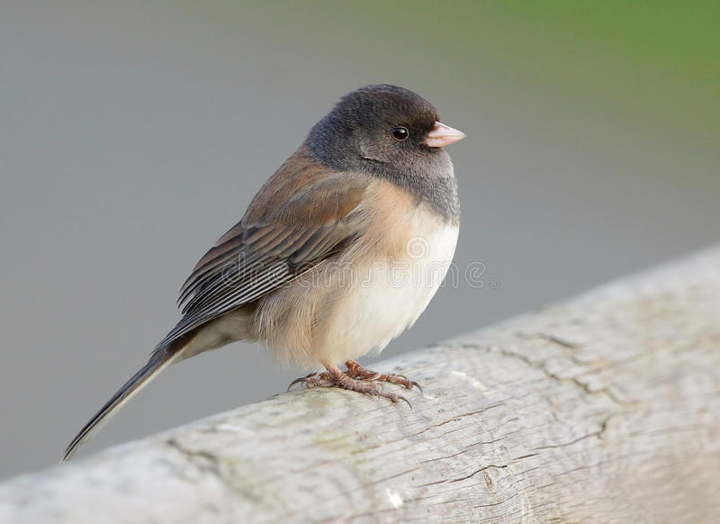 junco royaltyfria bilder