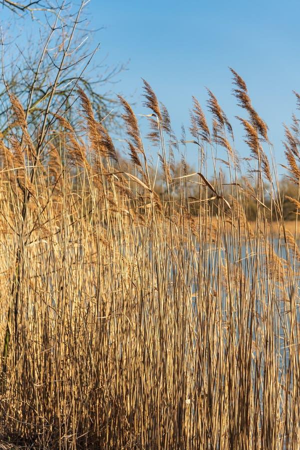 Junco australásio do Phragmites no banco da lagoa durante a primavera adiantada fotos de stock