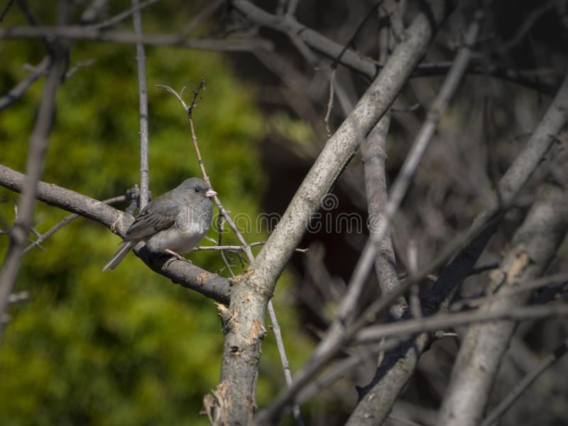 Junco bird on a branch stock image
