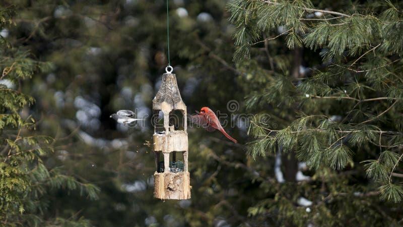 Junco cardinal e de olhos escuros do norte em voo fotos de stock