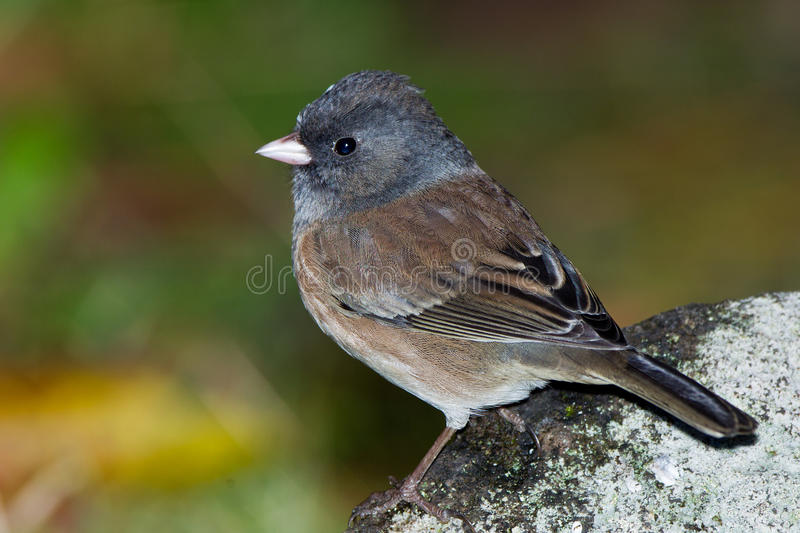 Junco Dark-eyed photographie stock libre de droits