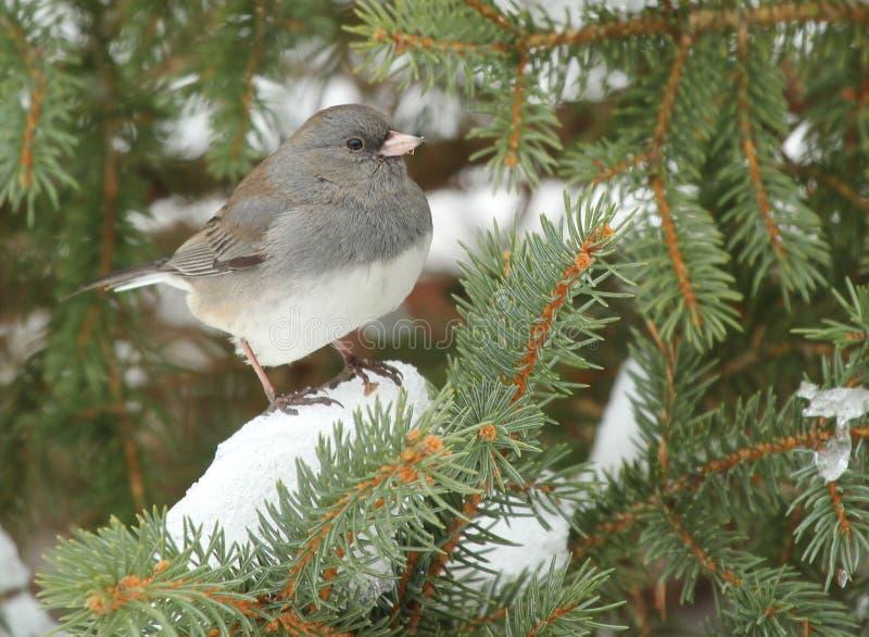 Junco Dark-eyed en árbol de hoja perenne nevoso imágenes de archivo libres de regalías