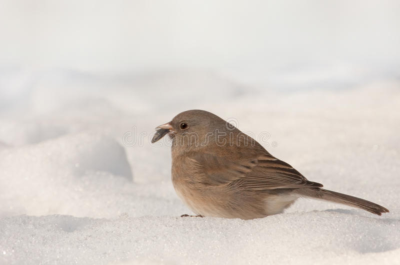 Junco Dark-eyed (hyemalis del Junco) fotografie stock