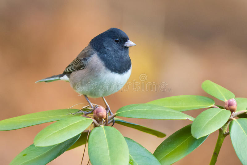 Junco de Oregon fotografia de stock