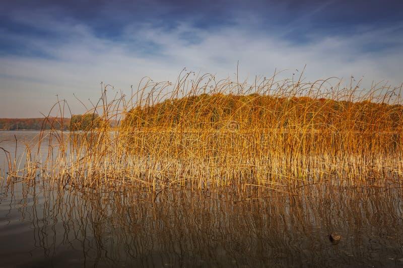 Junco dourado do lago fotos de stock