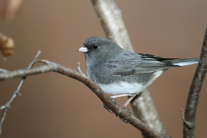 Junco Escuro-eyed foto de stock royalty free