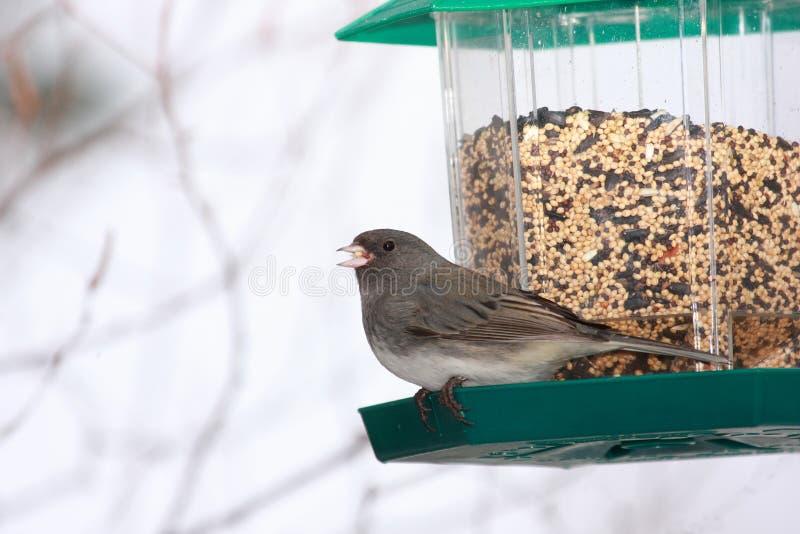 Junco Eyed oscuro en el alimentador del pájaro imagen de archivo libre de regalías