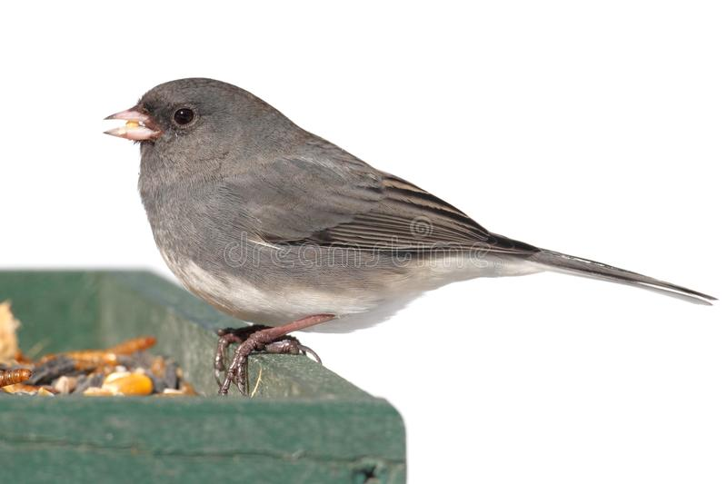 Junco On A Feeder. Dark-eyed Junco (junco hyemalis) on a feeder in snow royalty free stock photo