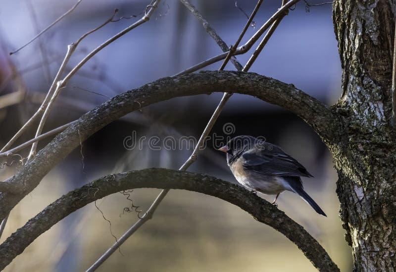 Junco osservato buio in Wisconsin fotografie stock libere da diritti