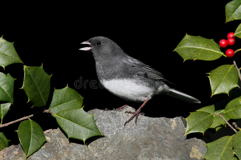 Junco On A Rock With Holly stock photography